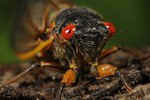 Periodic Cicada (17 Year) portrait, (Magicicada setendecim), NJ