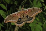 Polyphemus Moth (Antheraea polyphemus, male, New Jersey