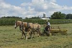 Belgian draft horse team turning cut hay, Amish farm, Lancaster Co., PA