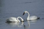 Trumpeter Swan (Olor buccinator), WY