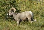 Bighorn Sheep eating (Ovis canadensis), MT