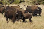 Bison (Bison bison), SD