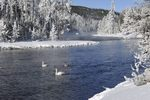 Trumpeter Swans on the Firehole River, Yellowstone NP, WY