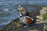 Harlequin Duck (Histrionicus histrionicus), NJ