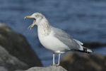 Herring Gull (Larus smithsonianus), NJ