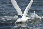 Herring Gull diving at fish, NJ
