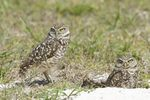 Burrowing Owls (Athene cunicularia), Cape Coral, Florida