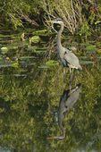 Great Blue Heron (Ardea herodias), Anhinga Trail, Everglades National Park, Fla.