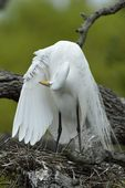 Great Egret (Ardea alba) preening, St. Augustine, Florida