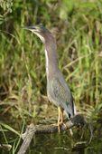Green Heron (Butorides virescens), Shark Valley, Everglades National Park, Fla.