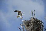 Osprey (Pandion haliaetus) at nest, Everglades National Park, Florida