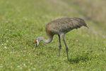 Sandhill Crane (Grus canadensis) feeding, Viera Wetlands, Fla.