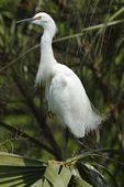 Snowy Egret (Egretta thula), St. Augustine, Florida