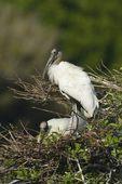 Wood Stork (Mycteria americana) at nest, Wakodahatchee wetlands, Fla.