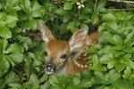 Whitetail Deer fawn (Odocoileus virginianus), New Jersey