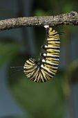 Monarch butterfly (Danaus plexippus) j shape pupating. NJ