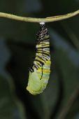 Monarch Butterfly (Danaus plexippus) caterpillar forming chrysalis