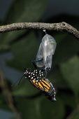Monarch Butterfly (Danaus plexippus) emerging from chrysalis, NJ