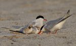Common Terns (Sterna hirundo) at nest