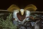 Luna Moth (actias luna) male portrait