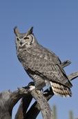 Great Horned Owl (Bubo virginianus), AZ