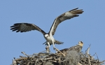 Osprey (Pandion haliaetus) with fish for dinner
