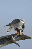 Peregrine Falcon (Falco peregrinus), NJ