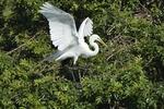 Great Egret (Ardea alba), Venice, Fla.