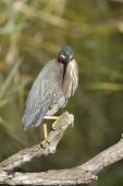 Green Heron (Butroides virescens)