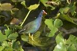 Purple Gallinule (Porphyric martinicus), Shark Valley, Everglades National Park, Florida