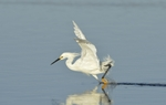 Snowy Egret chasing fish (Egretta thula), Myakka River, Fla.