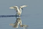 Snowy Egret (Egretta thula), Myakka River, Fla.