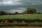 Under a stormy, grey sky, sheep and their lambs grazing in a field edged by wildflowers.