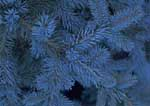 Dwarf blue spruce, a popular evergreen shrub.
