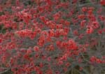 Winterberry, a native deciduous holly, with frost.