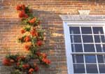 Pyracantha espaliered onto old brick wall.