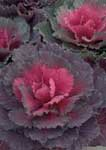 Colorful ornamental kale.