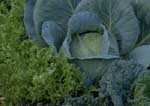 Cabbage and endive in fall vegetable garden.