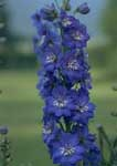 Delphiniums are among the bluest perennial flowers.