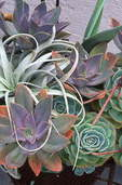 Drought-tolerant colorful succulents and bromiliads in container made from steel plate.