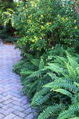 Shady, narrow sideyard in Florida garden with brick path, shrubs and ferns.
