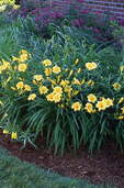 Foundation planting with low-maintenance, long-blooming perennials(daylilies)and shrubs (spiraea).