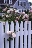 'New Dawn' rose and picket fence in a Cape Cod garden.