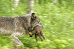 Wolf carrying pup