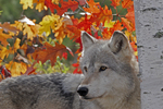 Gray or timber wolf in autumn color.
