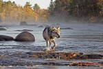 Gray or timber wolf crossing foggy river.