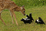 White-tailed deer fawn (Odocoileus virginianus) and striped skunk babies (Mephitis mephitis) become aquainted, Pine County, MN  Captive