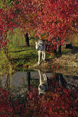 Gray wolf (Canis lupus) and fall color reflection, Pine County, MN  Captive