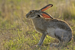 Black-tailed jackrabbit (Lepus californianus) backlit.  McMullen County, TX