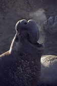 Northern elephant seal bull (Mirounga angustirostris) blowing steam as it bellows on a cool morning, Piedras Blancas, CA